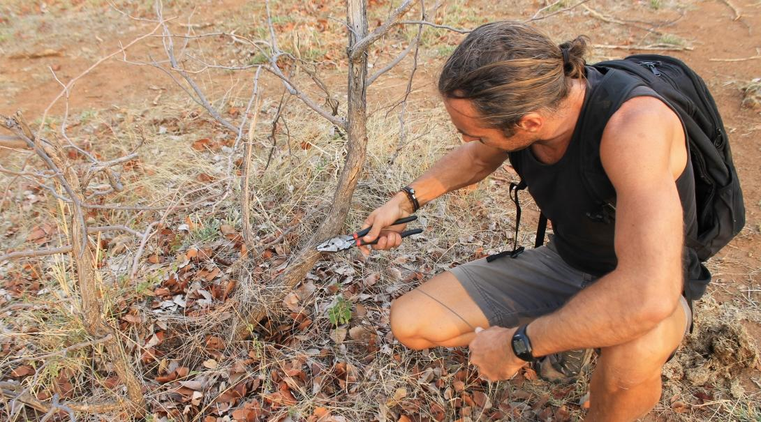 A Conservation volunteer removes a poaching snare while volunteering abroad.